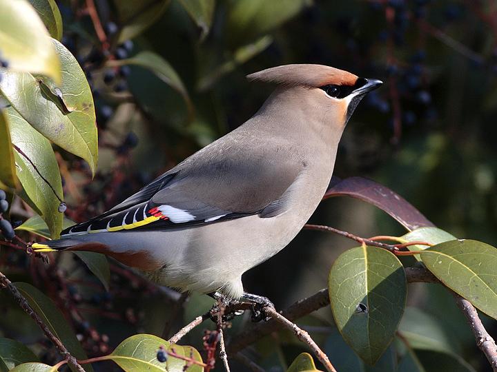 Gambar burung, jenis burung, foto burung, kicau, burung kicauan