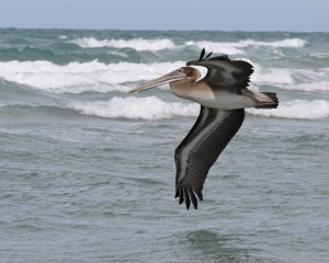 Gambar burung, jenis burung, foto burung, kicau, burung