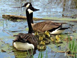 Gambar burung, jenis burung, foto burung, kicau, burung kicauan, download gambar, download suara burung (8)