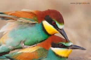 ... burung, kicau, burung kicauan, download gambar, dow